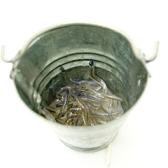 Image of Elvers In Bucket