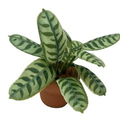 Image of <b>New:</b> Calathea Makoyana (potted)
