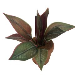 Image of <b>New:</b> Calathea Vittata (potted)